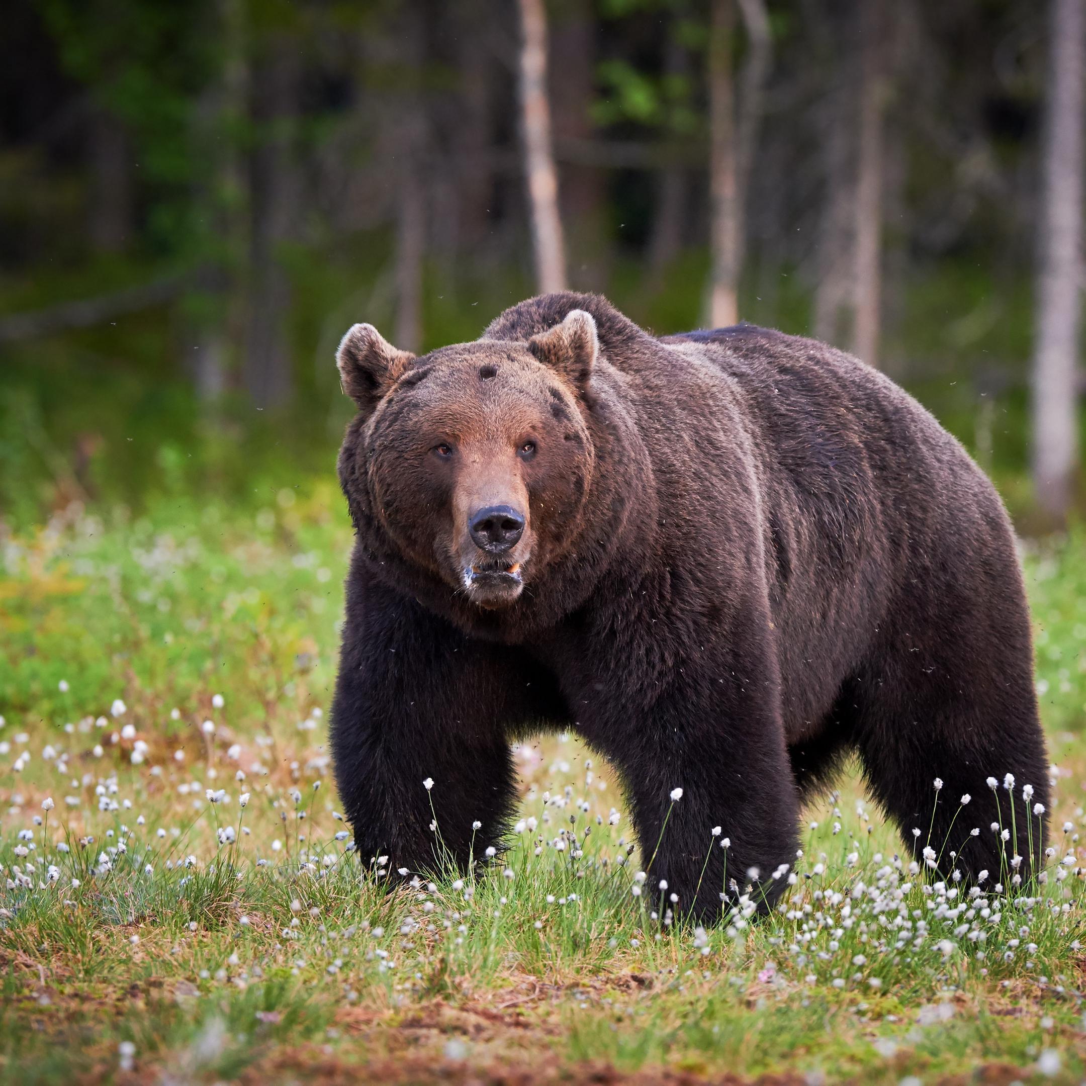 Glacier National Park Grizzly Bear