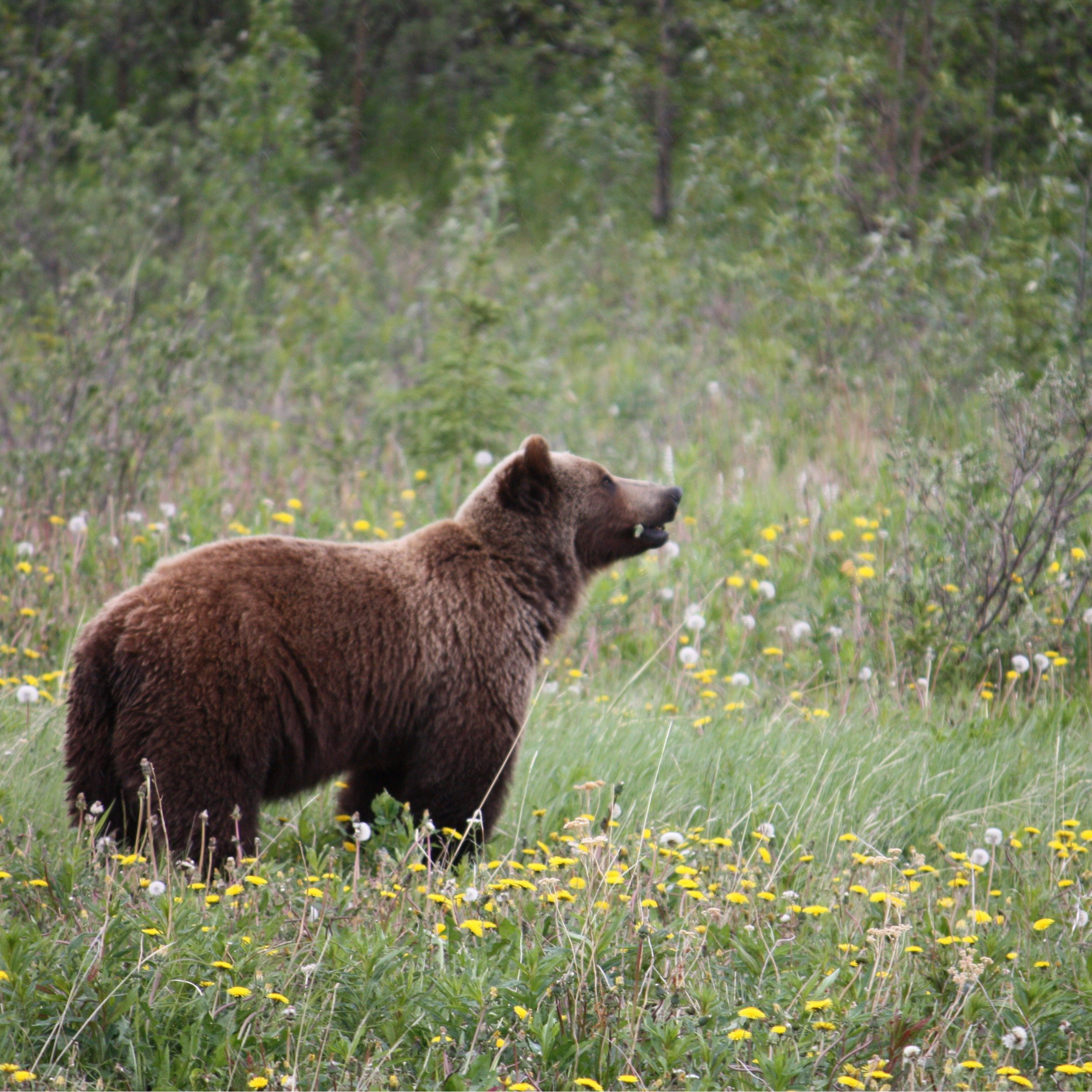 Grizzly Bear in the Meadows